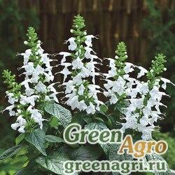 "Шалфей шарлаховый (Salvia coccinea) ""Summer Jewel"" (white) raw 1000 шт."
