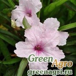 "Руэлия Бриттона (Ruellia brittoniana) ""Southern Star"" (pink) raw 100 шт."