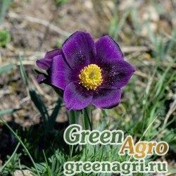 Прострел словaцкий крупноцветковый малый  (Рulsatilla slavica f.grandiflora ssp.minima) 1 гр.