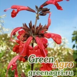 "Шалфей шарлаховый (Salvia coccinea) ""Summer Jewel"" (red) raw 1000 шт."