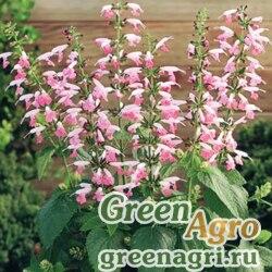 "Шалфей шарлаховый (Salvia coccinea) ""Summer Jewel"" (pink) raw 1000 шт."