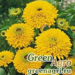 "Рудбекия волосистая (Rudbeckia hirta) ""Maya"" (yellow) coated 1000 шт."
