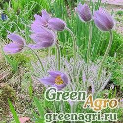 Прострел обыкновенный готландский (Pulsatilla vulgaris ssp.gotlandica) гр 1.5 гр.