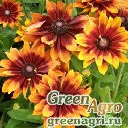 "Рудбекия волосистая (Rudbeckia hirta) ""Autumn Colors"" (yellow with red back) coated 1000 шт."