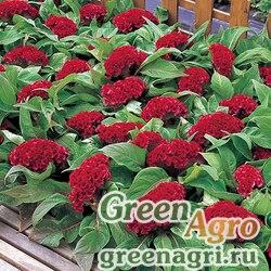 "Целозия гребенчатая (Celosia cristata) ""Armor"" (red) raw 1000 шт."