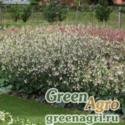 "Табак гибридный (Nicotiana x hybrida) ""Whisper F1"" (appleblossom) raw 1000 шт."