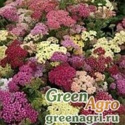 """Тысячелистник обыкновенный (Achillea millefolium) """"Summer Berries F2"""" (mix) raw 1000 шт."""