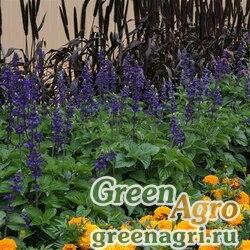 "Шалфей межвидовой (Salvia longispicata x farinacea) ""Blue Big"" raw 1000 шт."