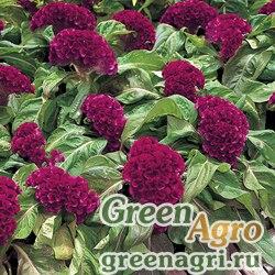 "Целозия гребенчатая (Celosia cristata) ""Armor"" (purple) raw 1000 шт."
