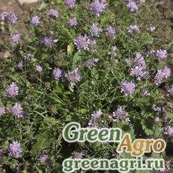 """Скабиоза японская разн. альпийская (Scabiosa japonica) """"Ritz"""" (blue) raw 100 шт."""