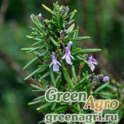 Розмарин лекарственный (Rosmarinus officinalis) 2 гр.