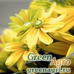 "Рудбекия волосистая (Rudbeckia hirta) ""Prairie Sun"" (light yellow with golden) coated 1000 шт."