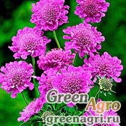 "Скабиоза японская (Scabiosa japonica) ""Pink Diamonds"" (pink) raw 1000 шт."