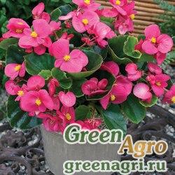 Бегония вечноцветущая зеленолистная Бада Бинг Роуз 1000драже