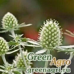 "Синеголовник плосколистный (Eryngium planum) ""Glitter"" (white) raw 1000 шт."