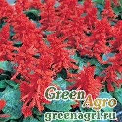 """Сальвия блестящая (Salvia splendens) """"Mojave F1"""" (red) elitech quality 1000 шт."""