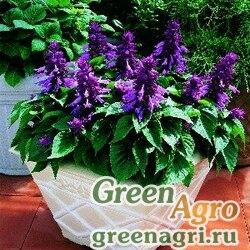 "Сальвия блестящая (Salvia splendens) ""Picante"" (light purple) raw Произв. 1000 шт."