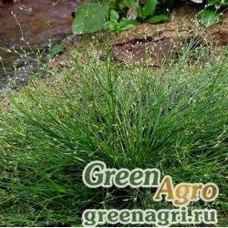 Ситник округлоплодный (Juncus sphaerocarpus) 1 гр.