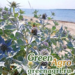 Синеголовник приморский (Eryngium maritimum) 4 гр.