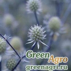 """Синеголовник плосколистный (Eryngium planum) """"Glitter"""" (blue) raw 1000 шт."""