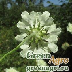 Скабиоза бледно-желтая (Scabiosa ochroleuca) 4 гр.