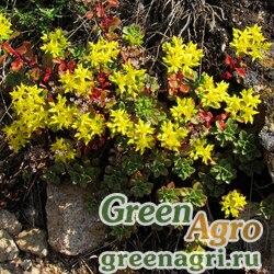 Седум гибридный (Sedum hybridum) 4 гр.