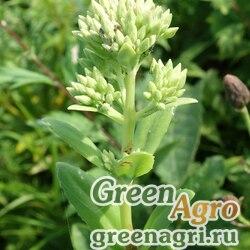 Седум бледнеющий (Sedum pallescens) 2.5 гр.