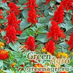 """Сальвия блестящая (Salvia splendens) """"Scarlet Piccolo"""" (scarlet) 10 гр."""