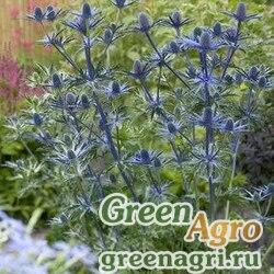 """Синеголовник плосколистный (Eryngium planum) """"Blau Carpet"""" (blue) 7 гр."""