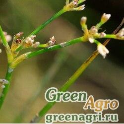 Ситник узловатый (Juncus subnodulosus) 1 гр.