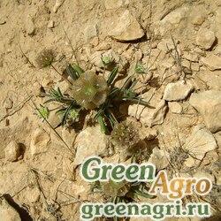 Скабиоза пурпурная высокая (Scabiosa atropurpurea) (mix) 50 гр.