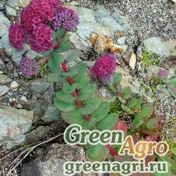 Седум пурпуровый (Sedum purpureum) 1.5 гр.