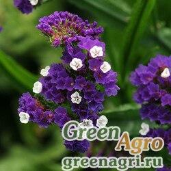 "Статица (Лимониум) выемчатая (Limonium sinuatum) ""Qis"" (purple) raw 1000 шт."