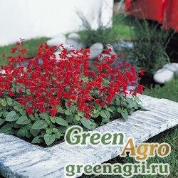 "Сальвия блестящая (Salvia splendens) ""Early bird"" (scarlet) гр 10 гр."