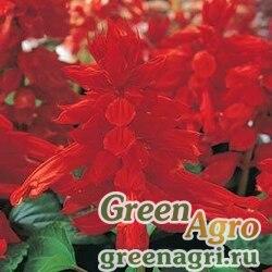 """Сальвия блестящая (Salvia splendens) """"Vista"""" (red) raw 1000 шт."""