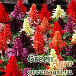 "Сальвия блестящая (Salvia splendens) ""Amore"" (formula mixture) raw 1000 шт."