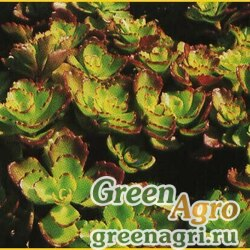 """Седум ложный (Sedum spurium) """"Coccineum"""" (crimson) 2 гр."""
