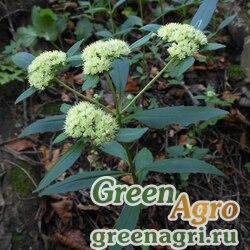 Седум живородящий (Sedum viviparum) 2 г