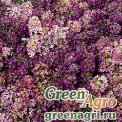 """Алиссум морской компактный (Lobularia maritima) """"Wonderland"""" (mix) raw 1000 шт."""