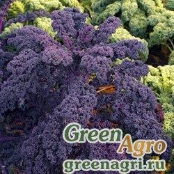 Капуста листовая Фиолетовое кружево (1уп-500шт)