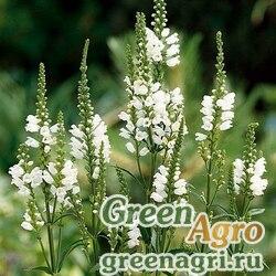 "Физостегия виргинская (Physostegia virginiana) ""Crown of Snow"" (white) raw Произв. 1000 шт."