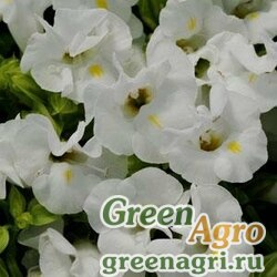 "Торения Фурнье (Torenia fournieri) ""Kauai F1"" (white) pelleted 1000 шт."