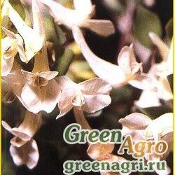 Хохлатка кавказская ф.белая (Corydalis caucasica f.alba) 1 гр.