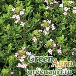 Тимьян обыкновенный (Thymus vulgaris) multi-pelleted 500 шт.