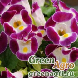 "Торения Фурнье (Torenia fournieri) ""Kauai F1"" (burgundy) pelleted 1000 шт."