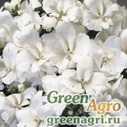 """Схизантус визетонский (Schizanthus x wisetonensis) """"Atlantis F1"""" (pure white) raw 1000 шт."""