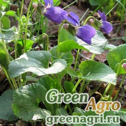 Фиалка приятная (Viola suavis) 1 гр.