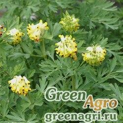 Хохлатка благородная (Corydalis nobilis) 1 гр.
