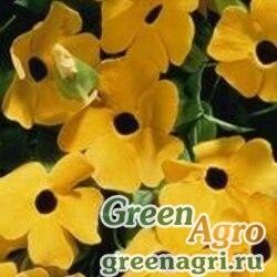 "Тунбергия крылатая (Thunbergia alata) ""Susie"" (yellow black eye) raw 2 гр."