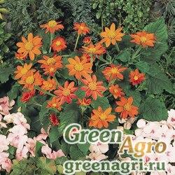 "Титония круглолистная (Tithonia rotundifolia) ""Fiesta del Sol"" raw Произв. 1000 шт."